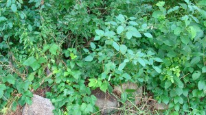 Companion plants poison ivy and jewel weed